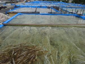 モズク養殖の場はよく「畑」と呼ばれる。 イノーとはサンゴ礁に囲まれた浅い海、礁池、礁湖のこと。 パタキは津堅島の言葉で畑の意味。